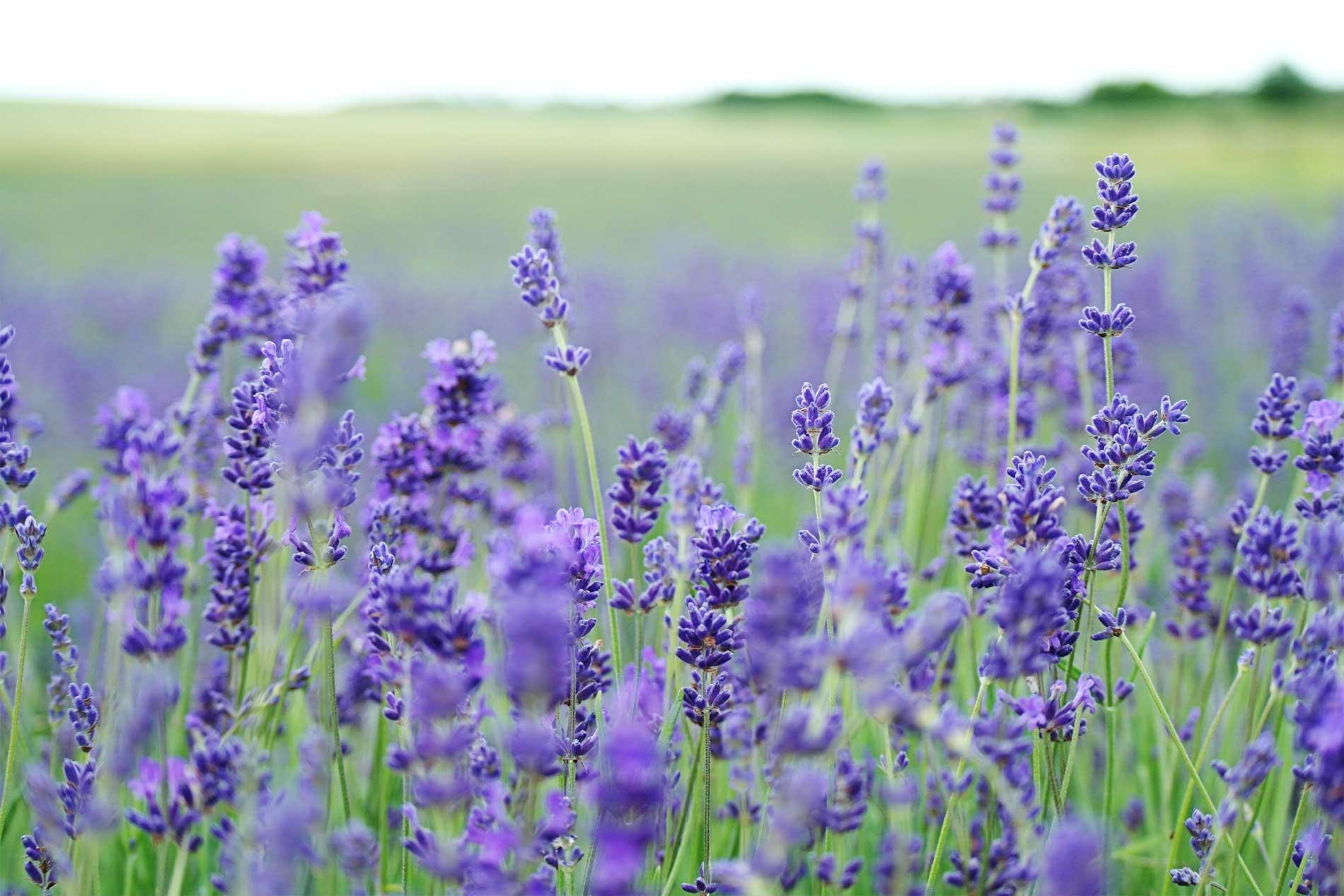 Lavendelöl, Lavendelöl Wirkung, Lavendelöl Anwendung